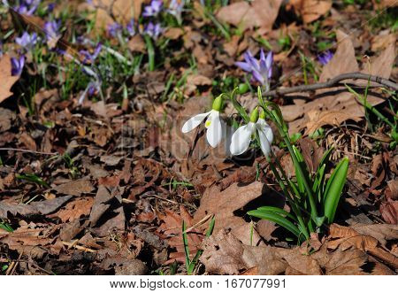 Snowdrops with Copy space. Wild Forest Snowdrops in Spring