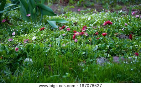 spring lawn with red daisy