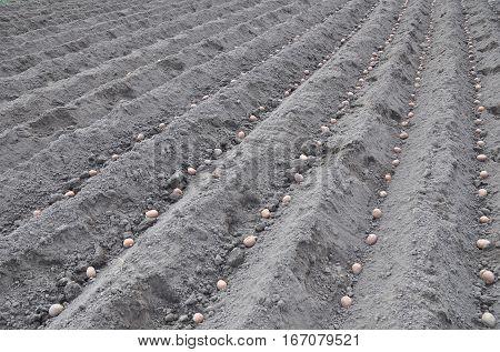 Planting potatoes. Potato field. Farmer  potatos field.