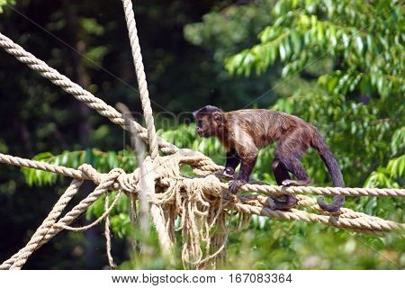 Small brown capuchin monkey on the ropes