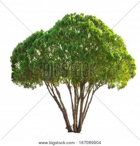 juniper pine tree isolated on white with clipping path