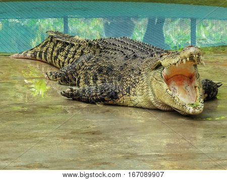 Big crocodile with open mouth near the pool