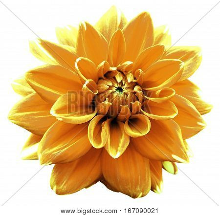 Flower orange motley dahlia. Isolated on a white background. Close-up. without shadows. For design.