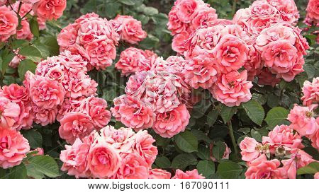 Pale pink roses shrub in garden, vintage color. Bush of beautiful pink roses closeup. Springtime blossom.