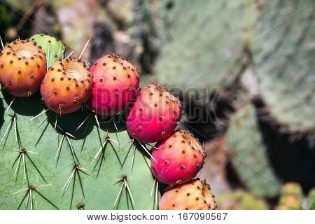Prickly pear cactus close up with fruit in red color cactus spines.
