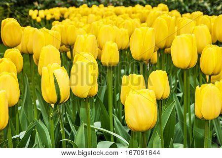 tulip yellow flowers in park Keukenhof garden, Holland, Netherlands