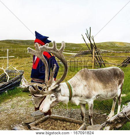 Honningsvag, Norway - Aug 6, 2016: Reindeer and Laplander deer-breeder in Honningsvag.