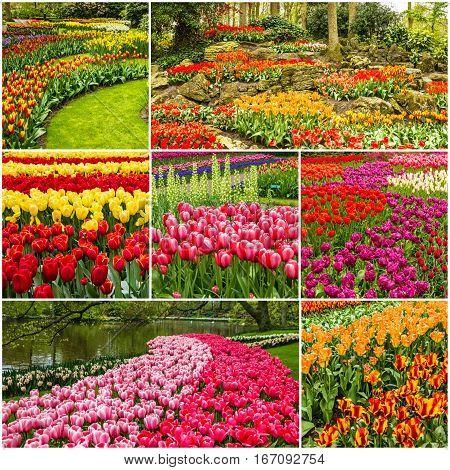 Tulips collage - Keukenhof flower park, Holland, Netherlands