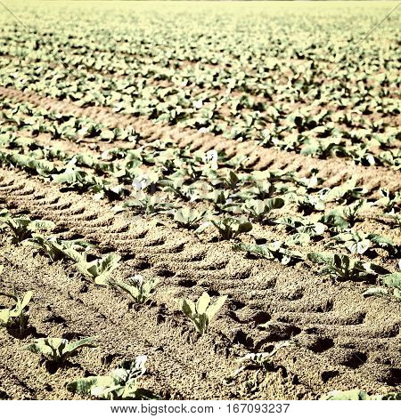 Rows of Fresh Young Green Seedling in Portugal Vintage Style Toned Picture