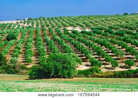 Olive Groves and Plowed Sloping Hills of Spain in the Autumn