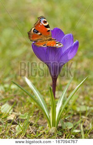 European Peacock (Inachis io) and Crocus (Crocus L.) Saffron in the spring