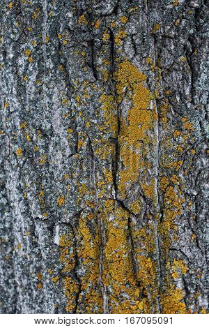 Texture of the old tree bark with lichen. background mode.