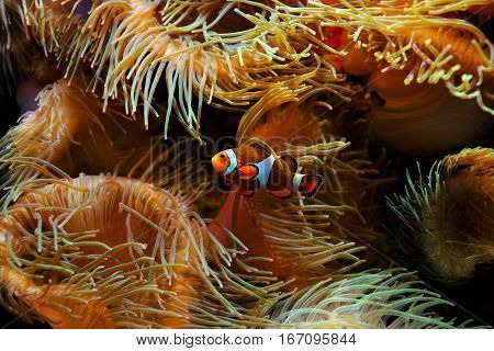 Clown Fish (Amphiprion ocellaris) and sea anemones as background also known as the Ocellaris Clownfish False Percula Clownfish or Common clownfish