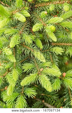 Fir tree branch background close up. Nature and garden object.