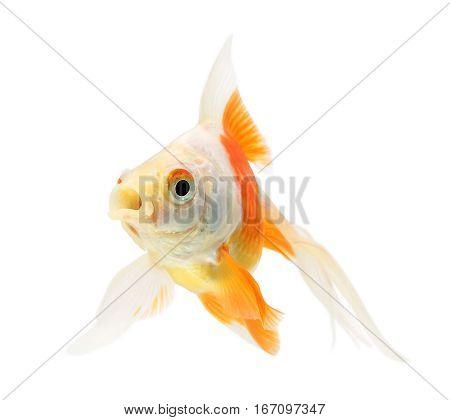 Goldfish, one fish on a white background