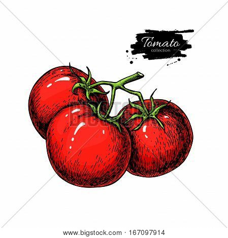 Tomato vector drawing. Isolated tomatoes on branch. Vegetable artistic style illustration. Detailed vegetarian food sketch. Farm market product.  Great for label, banner, poster