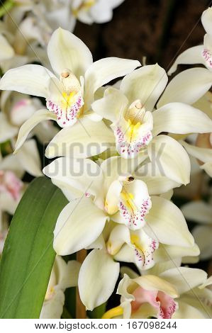 Inflorescence of large white orchid flowers in a greenhouse