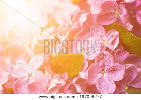 Macro image of spring soft violet lilac flowers with water drops, natural seasonal sunny floral background. Can be used as holiday card with copy space.