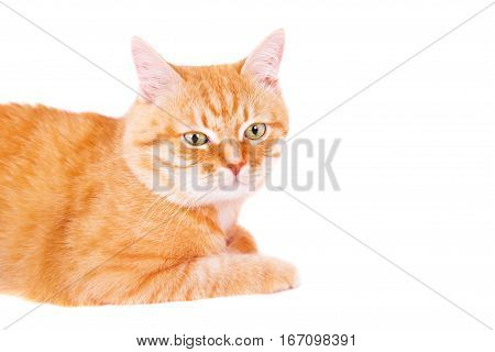Cute ginger cat lying on the floor. Studio photo isolated on white background.