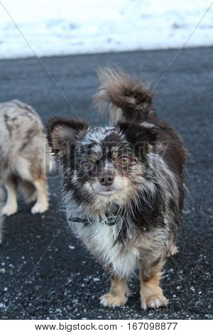 Long-haired Chihuahua dog with rare Choko-Merle color, With wet, partially frozen fur he stands on the dark gray asphalt of a frozen country road after Kirchsahr on an early winter evening in January 2017 And looks happy and exhausted by the joyful play w