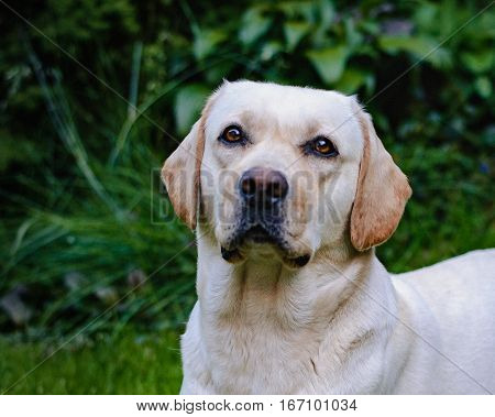 A young cute yellow labrador sitting on a lawn and looking at you. Beautiful light golden labrador closeup sitting happily on the lawn. Being friendly and excellent guide dogs.