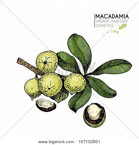 Vector set of hair care ingredients. Organic hand drawn colored elements. Macadamia branch and liced nuts.cosmetic package shop store products spa salon wellness program procedure skin beauty