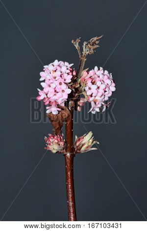 Viburnum x bodnantense 'Dawn' a pink winter flowering shrub which has highly fragrant flowers and leafless when in bloom