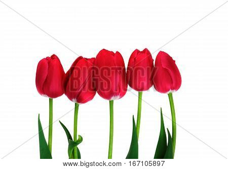Red Tulips isolated. Five red tulips on white with clipping path