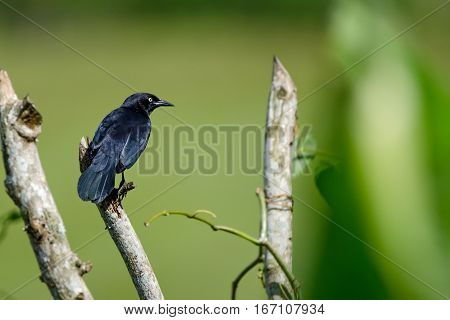 Greater Antillean grackle or Quiscalus niger in wild