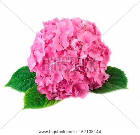 Hortensia flower close up. Pink Hydrangea flowers isolated on white background