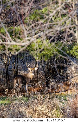 Vertical image of a  White-tail Buck (Odocoileus virginianus) in the Wisconsin rut.
