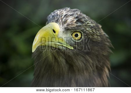 American Brown Eagle Face. Eagle Staring On Victim. Symbol Of America Of Wildlife.