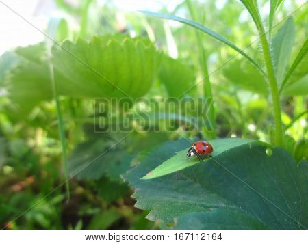 Red Ladybug On Leaf In Shiny Sun Light. Ladybug In Garder Background Photo