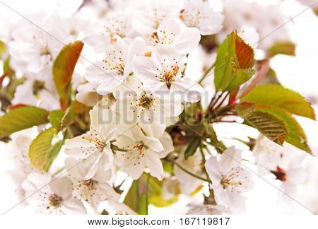 Cherry blossom in the spring day (close up)