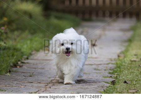 A white maltese dog running on a pathway with grass on the sides
