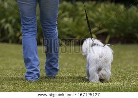 White Maltese dog walking in the garden with owner. Back view.