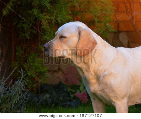 A young cute yellow labrador stays on a lawn with eyes closed. Beautiful light golden labrador closeup staying happily on the lawn. Being very friendly and excellent guide dogs.