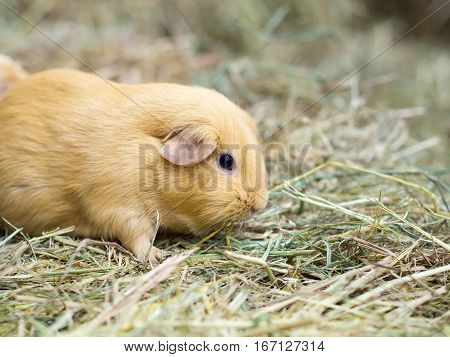 Guinea pig find food on grass space for text