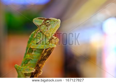 Close-up view of a Veiled Chameleon (Chamaeleo calyptratus).