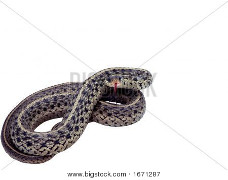 photo of a common garter snake isolated over a white background in a strike pose. includes a clipping path poster