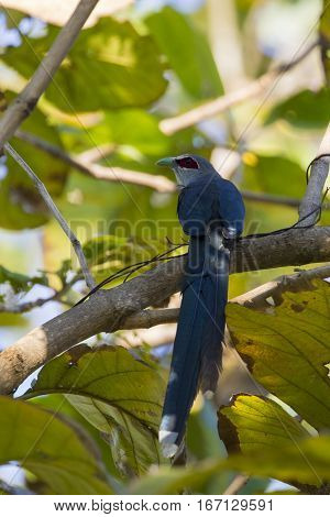 Image of bird perched on a tree branch. (Green-billed Malkoha Phaenicophaeus tristis) Wild Animals.