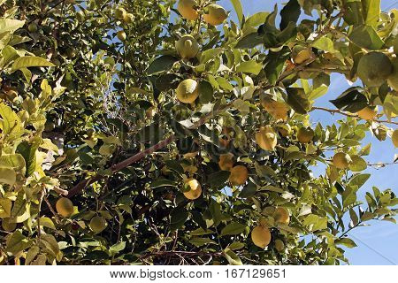 Yellow lemons hanging on tree. Lemons on tree in Italy typical location for this exotic fruit.