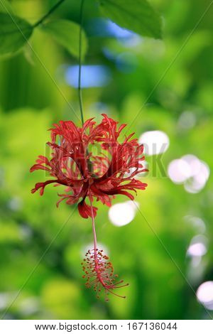 Chinese Red Lantern, a type of Hibiscus and found in Tahiti.