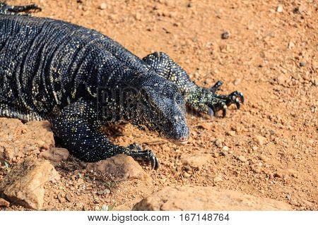 Water monitor lizard or Varanus salvator in wild
