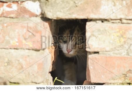 cute little kitten fearfully peeking out of a hole in the brick house