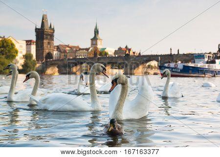 Swans on the river Vltava Prague near the Charles bridge