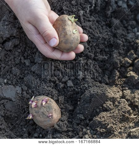 Child hands planting potato tubers into the soil close-up organic farming