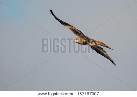 Red kite (Milvus milvus) soaring in flight with wings straight. Medium-large bird of prey in family Accipitridae flying in Wales UK