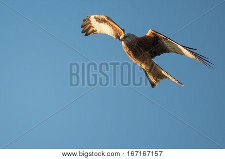 Red kite (Milvus milvus) in flight with wings angled. Medium-large bird of prey in family Accipitridae flying in Wales UK