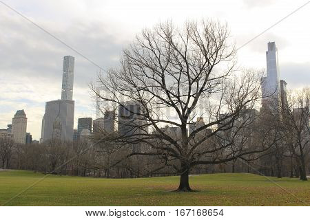Silhouetted tree in Central Park with skyscrapers in the background